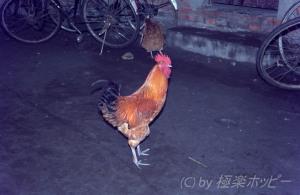 おいしそうな鶏が@成都ぶらぶら