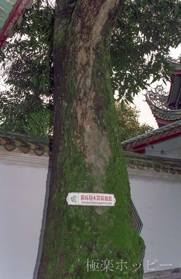 保護樹木@南普陀寺